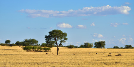 acacia tree: Beautiful landscape with big acacia tree and antelopes sprigbok in the Kalahari desert at warm evening light, Namibia, Africa