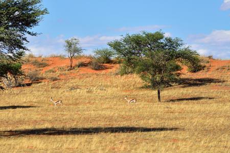 kalahari: Beautiful landscape with red sand dunes,  acacia tree and antelopes sprigbok in the Kalahari desert at warm evening light, Namibia, Africa Stock Photo