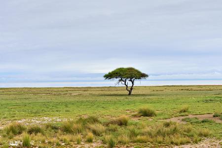 acacia tree: Typical african landscape. Etosha national park at sunrise time. Big solitary umbrella acacia tree and Etosha pan (lake) on background. Namibia Stock Photo
