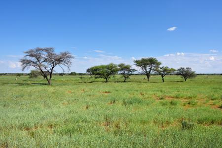 safari game drive: Beautiful african landscape, Waterberg plateau, grassland and umbrella acacias Stock Photo