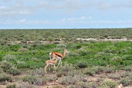springbok: Springbok antelope with her baby in Etosha national park in Namibia at sunrise time; Antidorcas Marsupialis