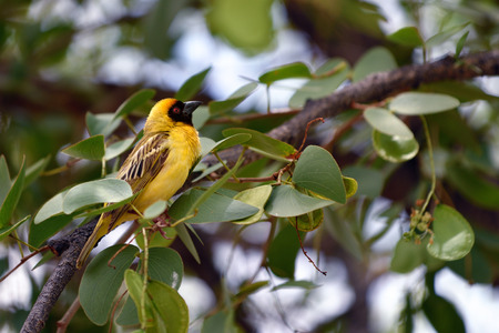 weaver bird: Southern Yellow Masked Weaver bird sits on the branch, Namibia, Africa