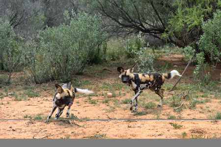 african wild dog: Two African Wild Dog in bush, Namibia