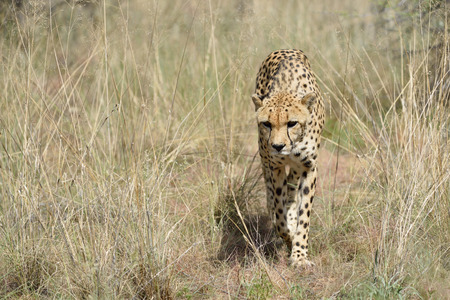 sneaks: Wild Cheetah sneaks into the tall grass In African Savannah, Namibia