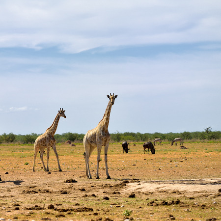 african wildebeest: African wildlife, young giraffes,  wildebeest antelopes and zebras on background in Etosha national reserve, Namibia