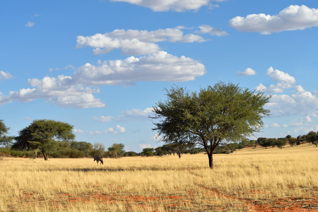 kalahari desert: Beautiful landscape with a gemsbok (Oryx gazella) and acacia trees, the Kalahari desert, Namibia, Africa Stock Photo