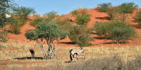 kalahari desert: A Gemsbok (Oryx gazella) with calf in the Kalahari desert, Namibia, Africa