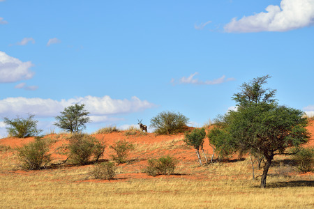 kalahari: Beautiful landscape with a Gemsbok (Oryx gazella) in the Kalahari desert, Namibia, Africa. Warm sunset light