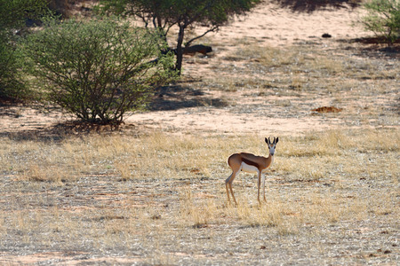 kalahari: Antelope sprigbok in sunset backlight, the Kalahari desert, Namibia, Africa