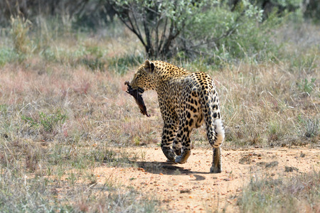 prey: Wild leopard with prey in the African Savannah, Namibia