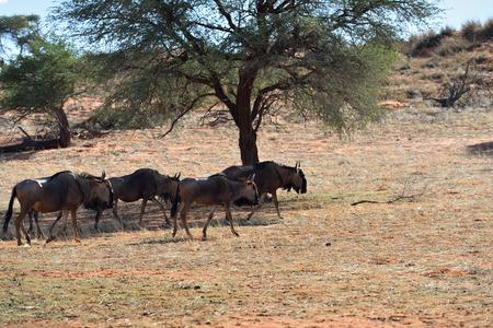 taurinus: Herd of blue wildebeest, Connochaetes taurinus, in the bush in sun backlight, big animal in the nature habitat, Namibia, Kalahari desert, Africa. Warm evening light Stock Photo