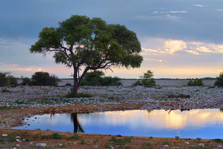 pozo de agua: Bright African night. Acacia tree silhouette on the waterhole shore against a bright sunset sky. Namibia Foto de archivo