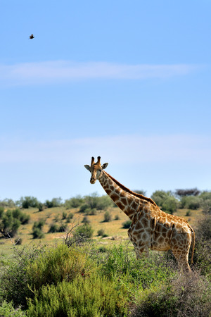 ungulate: Giraffe looking out of the bushes in Etosha national reserve, Namibia. Morning light