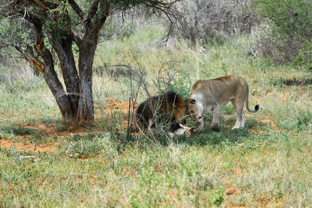 africa kiss: Lion male and lioness caress each other before mating in the african savannah, Etosha, Namibia Stock Photo