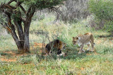 dangerous love: Lion male and lioness in the african savannah, Etosha, Namibia
