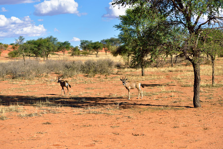 kalahari desert: African wildlife. Antelopes in the Kalahari desert at evening light, Namibia, Africa