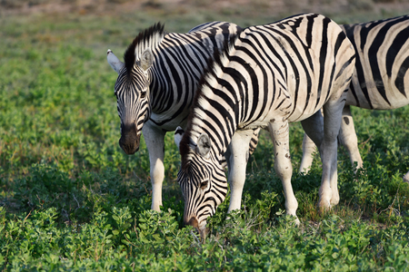 safari game drive: Herd of the damara zebras at sunrise, Equus burchelli, Etosha national park, Namibia