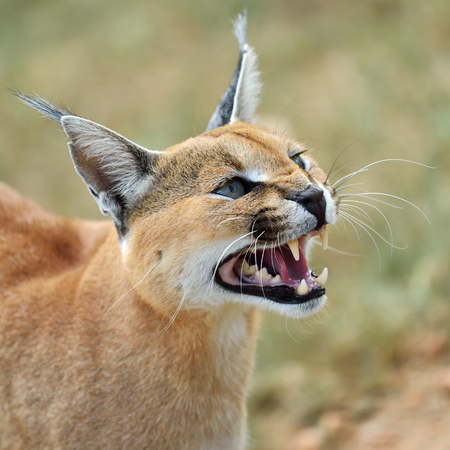 felix: Wild female Caracal portrait in Namibian savannah