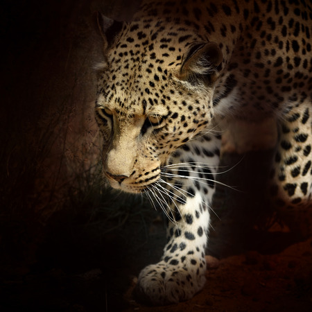 sneaks: Wild leopard in aggressive pose sneaks. African Savanna, Namibia. Filtered image