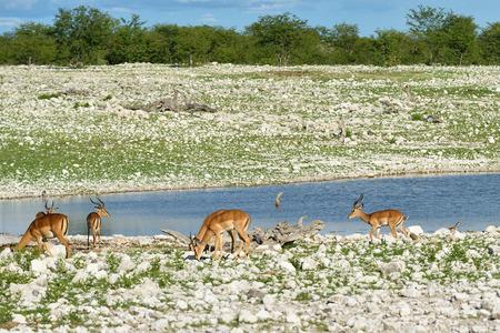 pozo de agua: impalas Brown (Aepyceros melampus) cerca de pozo de agua en la salida del sol. Parque Nacional de Etosha, Namibia. Ant�lope de gran tama�o.