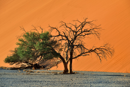 sossusvlei: Beautiful landscape with red dune and trees at sunrise, Sossusvlei, Namib Naukluft National Park, Namibia