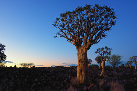 dichotoma: Quiver Tree Forest outside of Keetmanshoop, Namibia at unusual color sky. Magical silhouette against mystical sunset