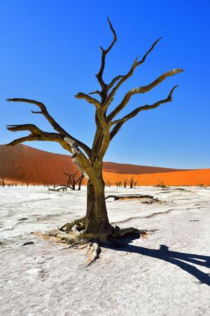 vlei: Dead Camelthorn Trees against blue sky in Deadvlei, Sossusvlei. Namib-Naukluft National Park, Namibia, Africa.