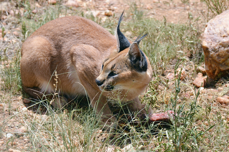 safari game drive: Wild female caracal with a prey in the african savannah, Namibia