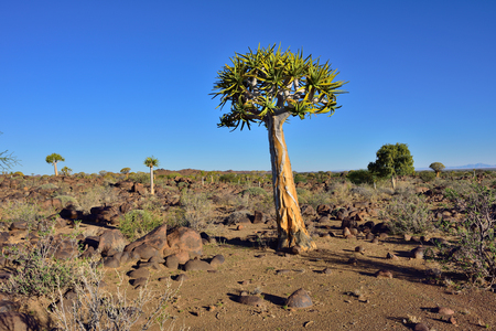 quiver: Magical Quiver Tree Forest outside of Keetmanshoop, Namibia at sunset. Warm evening light