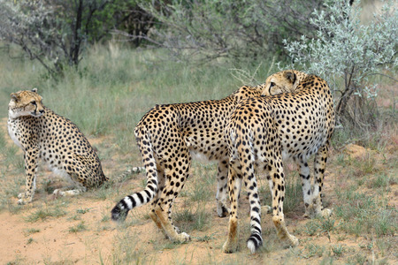 cheetahs: Wild Cheetahs In the African Savannah, Namibia