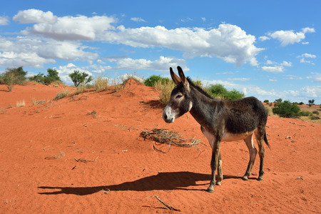 kalahari: Donkey in the Kalahari desert at sun down, Namibia, Africa