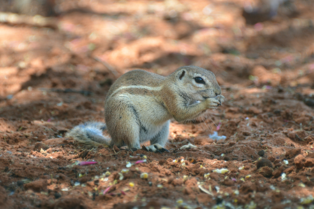 xerus inauris: Cape ground squirrel (Xerus inauris). Wildlife animal. Namibia, Africa Stock Photo