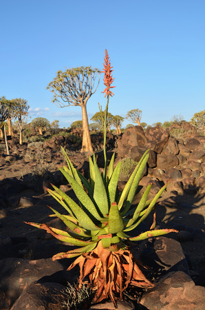 quiver: Agave plant in the Quiver Tree Forest in Namibia at sunset. Warm evening light