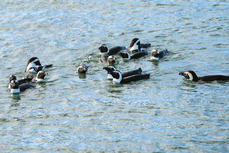 jackass: Jackass penguins in water, Penguin Islands,  Luderitz bay, Atlantic ocean, Namibia, Africa Stock Photo