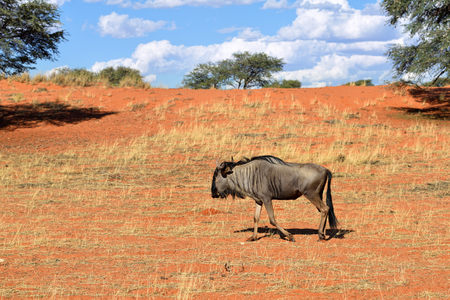 Blue wildebeest, Connochaetes taurinus, big animal in the nature habitat, Namibia, Kalahari desert, Africa Stock Photo