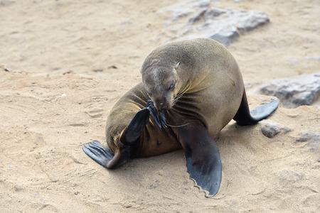 Cape pelsrobben ontspannen in een denker poseren op de zandige kust van de Atlantische oceaan. Zeehondenkolonie in de Cape Cross, Skeleton Coast, Namibië Stockfoto - 69205216