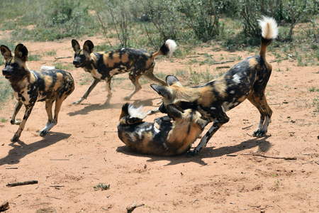Group of the African Wild Dogs playing in bush, Namibia