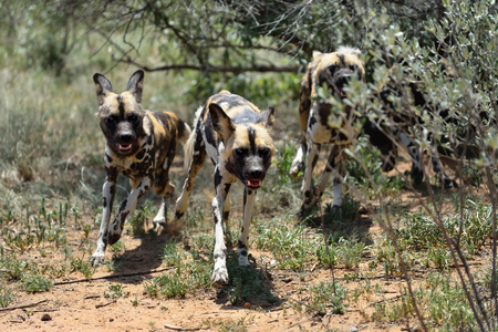 kampfhund: African Wild Dogs hunting in the bushveld, Namibia. Africa