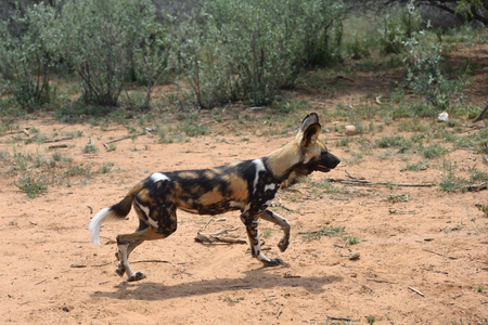 African Wild Dogs running in the bushveld, Namibia. Africa Stock Photo