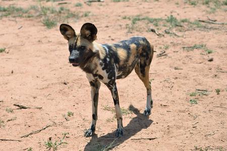 African Wild Dog in bushveld, Namibia, Africa