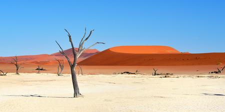 Dead Camelthorn Trees against red dunes and blue sky in Deadvlei, Sossusvlei. Namib-Naukluft National Park, Namibia, Africa Stock Photo