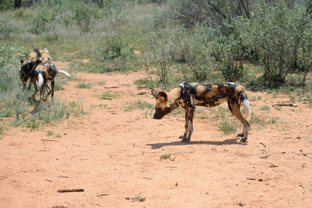 african wild dog: The African Wild Dog in the bushveld, Namibia