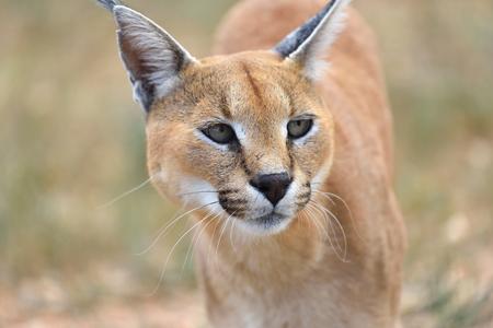 safari game drive: Wild female Caracal portrait in Namibian savannah