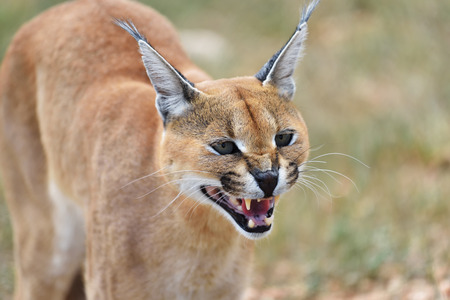 felix: Wild female Caracal in aggressive pose growls in Namibia savannah, Africa Stock Photo