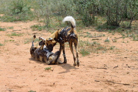 Two African Wild Dogs playing in the bushveld, Namibia, Africa