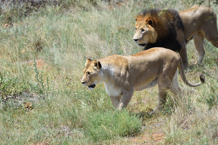 Couple of lions on the hunt. Lion and lioness ready to attac in the African bushveld, Namibia. Focus on the lioness Stock Photo