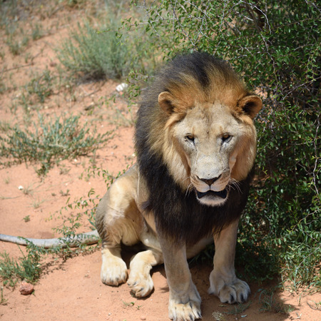 Male lion sitting under bush in the African bushveld, Namibia