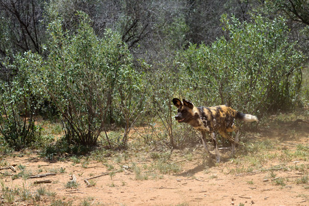 safari game drive: The African Wild Dog attacks from the bush, Namibia, Africa