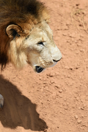 Male lion portrait in African bushveld, Namibia. Africa