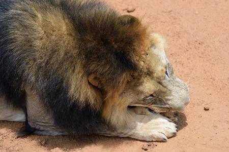 safari game drive: Male lion eatiing meat in African bushveld, Namib desert, Namibia Stock Photo